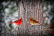 Dan Friend - Mr and Mrs Cardinal