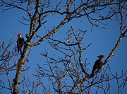 Pileated Woodpeckers Prints - Mr. and Mrs. Pileated Print by Crystal Joy Photography
