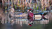 Feathers Posters - Mr and Mrs Wood Duck Poster by Bill  Wakeley