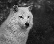 Arctic Wolf Photos - Mr. Arctic Wolf.. by Nina Stavlund