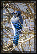 Brenda Bostic - Mr. Blue Jay In Hiding