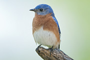 Bluebird Metal Prints - Mr. Bluebird takes a break Metal Print by Bonnie Barry