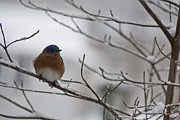 Eastern Bluebird Prints - Mr Bluebird Print by Teresa Mucha