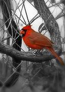 Mr Cardinal -card Print by Sandra Clark