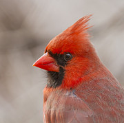 Red Cardinal Prints - Mr Cardinal Portrait Print by Mircea Costina Photography