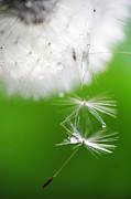 Dream Photos - Mr. Dandelion. Light Flight 2 by Jenny Rainbow