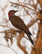 Flicker Framed Prints - Mr. Flicker Framed Print by Robert Frederick