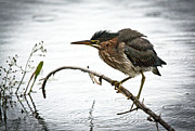 Cheryl Baxter Metal Prints - Mr. Green Heron Metal Print by Cheryl Baxter