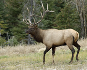 Bull Elk Prints - Mr Majestic Print by Bob Christopher