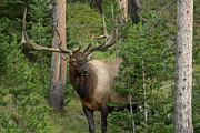 Bull Elk Posters - Mr. Majestic Poster by Sandy Sisti