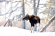 Cheryl Baxter Prints - Mr. Moose Print by Cheryl Baxter