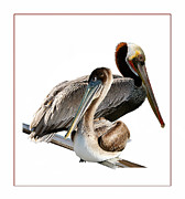 Sea Birds Prints - Mr Mrs Pelican Print by Tom Griffithe