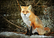 Fox Digital Art - Mr. Personality by Photoart BySaMi