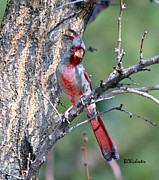 Las Cruces Art Prints - Mr. Pyrrhuloxia Print by Barbara Chichester