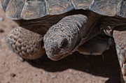 Tron Photos - Mr. Tron - The Desert Tortoise by Martina Thompson