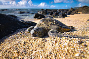 Green Sea Turtle Photos - Mr. Turtle by Justin Matoi