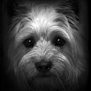 Cairn Terrier Photos - Mr. Watson by Tom Bell