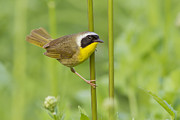 Yellow Warbler Posters - Mr Yellowthroat Poster by Mircea Costina Photography
