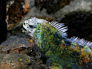 Al Bourassa - Marine Iguana In The...