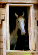 White Horses Photo Prints - Mrs. Ed Print by Karen Wiles