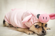 Tiny Dogs Photos - Ms Piggy by Tracy Munson