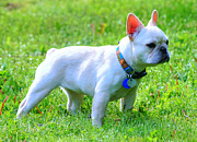 Ms Art Photos - Ms. Quiggly - French Bulldog by Tap On Photo