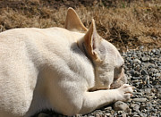 French Bulldog Greeting Card Posters - Ms Quiggly Resting Poster by Ms Quiggly