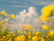 Flowers Field Prints - Mt Cloud Print by Davorin Mance