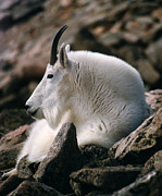 Robert Lozen Metal Prints - Mt Evans Mountian Goat Metal Print by Robert Lozen