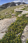 Drama Photographs Prints - Mt. Evans Wildflowers Print by Aaron Spong