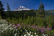 Wildflower Photos Posters - Mt. Rainier Poster by Adam Romanowicz