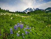 Mt Rainier Framed Prints - Mt. Rainier Wildflower Profusion Framed Print by Mike  Dawson