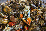 Lobsters Photos - Mudbugs at The Market by Andrew Pacheco