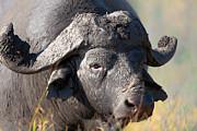 Muddy African Buffalo Portrait  Print by Johan Swanepoel