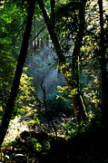 San Francisco Giant Photos - Muir Woods by Aidan Moran