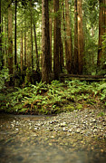 Tree Roots Photo Prints - Muir Woods Sentinels Print by Matt Tilghman