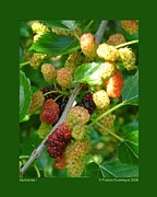 Patricia Overmoyer - Mulberries-I