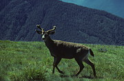 Dick Todd - Mule Deer at Hurricaine...