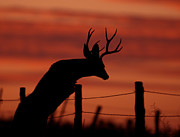 Mule Photos - Mule Deer Buck Jumping fence at sunset by Gary Langley
