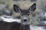 J L Woody Wooden - Mule Deer Doe   #8095