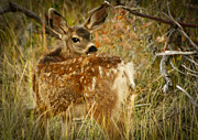 Mule Photos - Mule Deer Fawn by Robert Bales