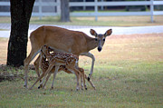 Feeding Photographs Prints - Mule Deer Feeding Her Fawns Print by Roy Williams