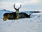 Mule Deer Buck Photograph Photos - Mule Deer Foraging For Food by Janice Rae Pariza