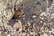 All - Mule Deer by Jaci Harmsen