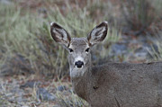 Mule Photos - Mulie by Rich Franco