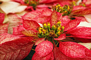 Donna Pagakis - Multi Colored Poinsettias