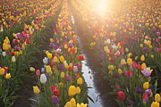 JPLDesigns - Multi Colors Tulips...