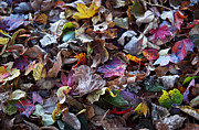 Turning Leaves Prints - Multicolored Autumn Leaves Print by Rona Black