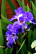 Kay Novy Framed Prints - Multicolored Iris Framed Print by Kay Novy