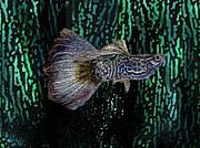 Multicolored Tropical Fish In Digital Art Print by Mario  Perez